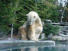 Ours blanc au zoo de La Flèche.