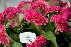 Evanthia Seeds&Plants  Celosia Cristata Act Rima  Our Celosia Act series is market leader in the Netherlands.