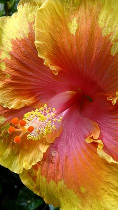 HIBISCUS....❤ Grow as annuals or winter over indoors.  Cannot tolerate temps below freezing