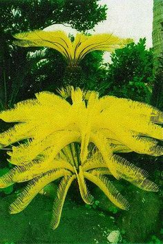 of the most impressive of the Cycas revoluta mutants is this specimen which bears great flushes of sulphur-yellow leaves, these later becoming green and photosynthetic. Unique Trees, Unusual Plants, Rare Plants, Exotic Plants, Tropical Plants, Tropical Gardens, Unusual Flowers, Rare Flowers, Amazing Flowers