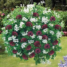 hanging baskets of flowers | Flowers Flower Plants Hanging Basket Plants Geranium 'Black and White ...