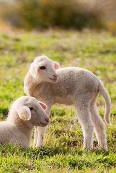 They are not born to be barcodes. They have the right to their own lives and their own bodies and their own beloved offspring. There is no kind way to use others for profit. All use is abuse. Farm Animals, Animals And Pets, Cute Animals, Beautiful Creatures, Animals Beautiful, Lamas, Wooly Bully, Sheep And Lamb, Little Bo Peep