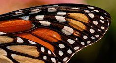 Guía sobre mariposas. Fichas de las especies de mariposas más bellas del mundo, con un espacio destacado para las mariposas monarca. Recursos prácticos como imágenes, dibujos de mariposas, fondos y juegos para Android y iPhone.