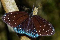 Cyclosia midamia (a day-flying moth)