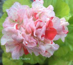 Pelargonitaivas: Elmsett. Sievä vaaleanvihreälehtinen kääpiöpelargoni Elmsett on jalostajataituri Ray Bidwellin jaloste vuodelta 1983. Kerrotut kukat ovat vaaleanpunaiset ja niissä on pinkkejä pilkkuja ja läiskiä. Lehdet ovat kellanvihreät ja valoisassa kasvupaikassa niissä erottuu ruskea vyöhyke. Kasvutavaltaan Elmsett on säästeliäs.