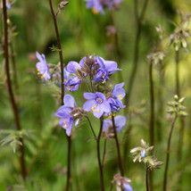 Polemonium yezoense 'Bressingham Purple' Jacobs Ladder - 2 litres
