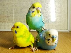 yeffyaboyuice:  budgie-research:  trio  holy shit  Birdstack 5: Revenge of the Night of the Living Birdstack