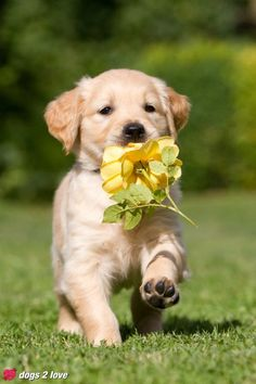 "Golden Retriever  ""I bringing you a flower"""