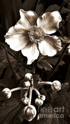Sepia Anemone Photograph by Chalet Roome-Rigdon - Sepia Anemone Fine Art Prints and Posters for Sale