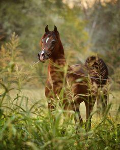 Kanz Albidayer :: Byatt Arabians - International Showing, Stallions, Mares, Foals, Sale horses, Houston, Texas, Marwan, Gazal, Aria Impresario