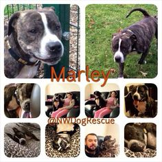 Marley is desperate for a new home. His foster has come to an end and he doesn't do well in kennels. A great lad whos owner was taken ill so Marley went into foster care. Sadly his owner is not able to care for him so Marley is truly desperate for your love.