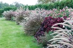 Proven Winners - Graceful Grasses® Purple Fountain Grass - Pennisetum setaceum 'Rubrum' pink plant details, information and resources. Rock Wall Gardens, Pennisetum Setaceum, Garden Yard Ideas, Backyard Ideas, Fountain Grass, Pink Plant, Outdoor Projects, Shrubs, Lawn