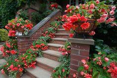 Begonia (58 Foto): plantación y cuidados en el jardín y el hogar