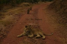 Taken at Horseback Africa. This lion cub was taking a break whilst her siblings walked on down the road Lion Cub, Kruger National Park, Lonely Planet, Big Cats, Siblings, Kenya, Cubs, Lions, Travel Guide
