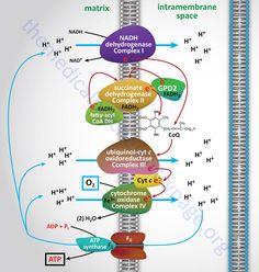 Flujo de electrones durante la fosforilación oxidativa
