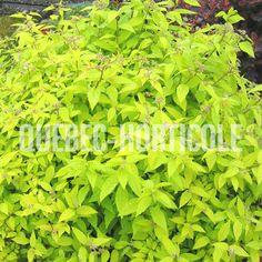 image de Spiraea japonica Gold Mound Detaille, Herbs, Photos, Image, Gold, Gardens, Note Cards, Plants, Pictures
