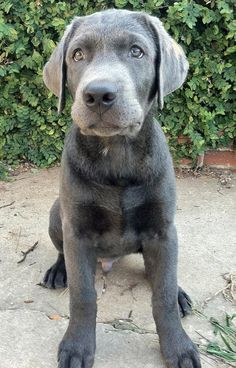 Look at his beautiful color. Brody the Labrador Retriever #dogs