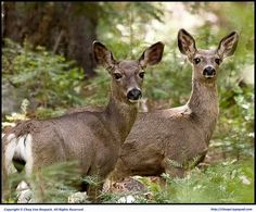 How to Use Oils to attract Deer.