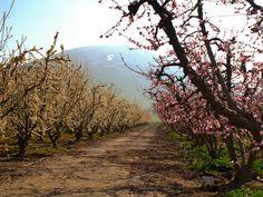 Fresno County Blossom Trail taken just outside Sanger, CA