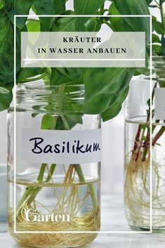 Kräuter in Wasser anbauen Herbs are great for hydroponics because their shoot tips are very well roo