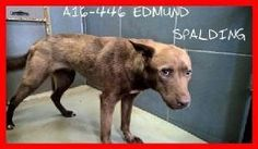 ***SUPER URGENT! 7/23/16: EDMUND - Griffin GA Last Chance Animals. THIS SCARED SWEET PUP LONGS FOR A LOVING FOREVER HOME TO FEEL SAFE AGAIN! A16-446-EDMUND.jpg.w300h175