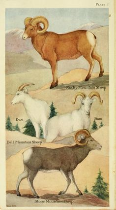 Rocky Mountain Sheep, Dall Mountain Sheep, Stone Mountain Sheep. Field book of North American mammals New York,G. P. Putnam's Sons,1928. Biodiversitylibrary. Biodivlibrary. BHL. Biodiversity Heritage Library.