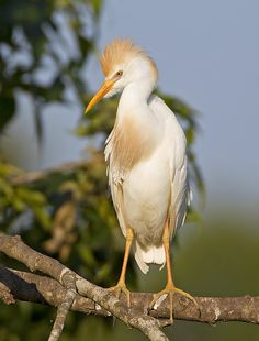 Cattle Egret by amaw, via Flickr