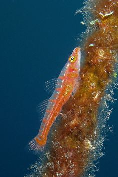 wire #coral #goby