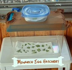 A Kritter Keeper with pantyhose over the lid is a fantastic option for a monarch egg hatchery. Monarch Butterfly Habitat, Butterfly Project, Butterfly House, Butterfly Crafts, Caterpillar Eggs, Monarch Caterpillar, Butterfly Feeder, Butterfly Life Cycle, Hummingbird Garden