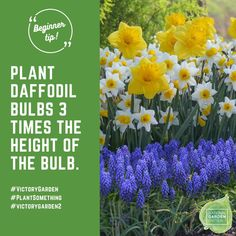 In most areas, the best time to plant spring-blooming bulbs is mid-October through mid-November. Don't worry if you are running late. Just be sure to get them into the ground by early December. #Fallisforplanting...Bulbs!