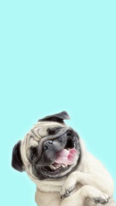 Pugs funny iphone backgrounds, dog wallpaper e pug wallpaper. Dog Wallpaper Iphone, Animal Wallpaper, Colorful Wallpaper, Screen Wallpaper, Amazing Wallpaper, Wallpaper Samsung, Dog Lockscreen, Cute Dog Wallpaper, Artistic Wallpaper