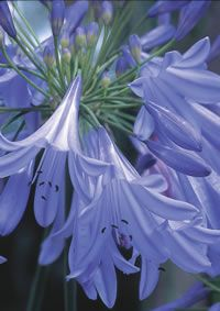 Agapanthus Queen Anne; remember Santa Barbara had a lawn rimmed with these.