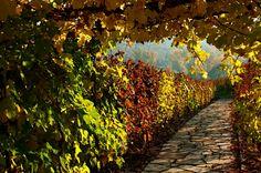 Grapevine gate