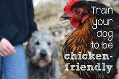 train your dog to be chicken-friendly - serious doubts on if this works, but worth a try!?!?!