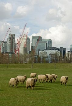 Canary Wharf Sheep by theaspiringphotographer, via Flickr, I love that sheep graze in London!