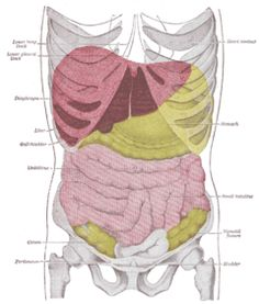 Pain+Left+Side+Under+Ribs   he liver is the big red blob in the upper right quadrant of the ...