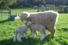 Romney sheep. most lovable faces and great fiber.