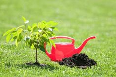 Be sure to water it well when planting it. I say this phrase several times a day to my garden center customers. But what does it mean to water well when planting? Click this article to learn how to water new garden plants. Backyard Vegetable Gardens, Garden Plants, Gardening Vegetables, Herb Garden, Trees And Shrubs, Trees To Plant, Organic Gardening, Gardening Tips