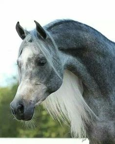 ♥ Gray's & this Arabian is GORGEOUS!
