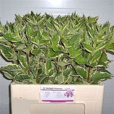 WEIGELA NANA VARIEGATED available at wholesale prices & direct UK delivery. Plan for your upcoming wedding or event now with Triangle Nursery Wedding Tables, Wedding Events, Flowers For Everyone, Florist Supplies, Green Flowers, Green Wedding, Triangle, Delivery, Nursery