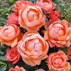 Lady Marmalade Floribunda - UK Rose of the Year for 2014