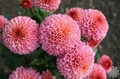 chrysanthemum - Google Search