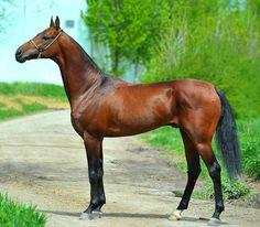 bay - Akhal-Teke stallion Bastion