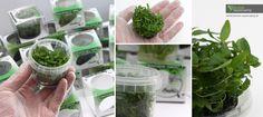 Staurogyne repens (In Vitro) - Beliebte Vordergrundpflanze http://www.biconeo-aquascaping.de/wasserpflanzen/produkt:staurogyne-repens-in-vitro/