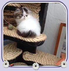 Tazkats Persians - Pedigree Persian cats lovingly bred in Sittingbourne, Kent