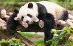 Download wallpapers 4k, Pandas, zoo, bears, cute panda, China, sleeping panda, Ailuropoda