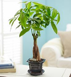 This money tree plant doesn't require much attention at all. It thrives in average home conditions with bright, indirect light.