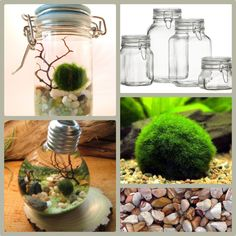 "DIY Jar Aquarium / Terrarium What you need: Jar, Japanese Marimo moss balls (about 1/2"" in diameter), glass pebbles, small sea fan, shell, water (change every 1-2 weeks) estimated costs: $20"