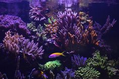 Orphek Atlantik growing coral fast in the UK Bill is a customer of UK Marine Lighting and is where he purchased his Atlantik V2.1 to light his gorgeous tank.