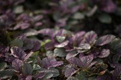 1000 images about ground covers on pinterest blue for Hearty plants for outdoors